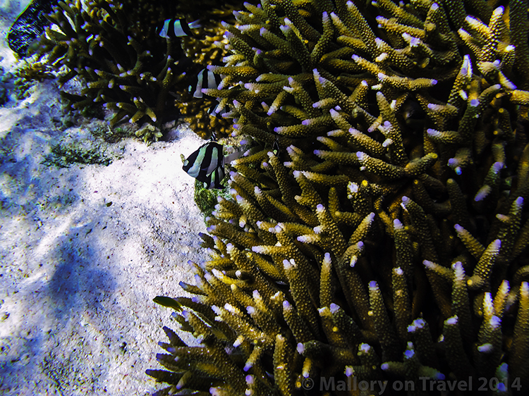 Branch coral at Lady Elliot Island in the Great Barrier Reef, Queensland, Australia on Mallory on Travel adventure, adventure travel, photography Iain Mallory-300-25 branch_coral
