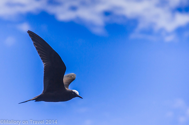 Brown noddy in flight on the South Atlantic island of St Helena on Mallory on Travel adventure, adventure travel, photography Iain Mallory-300-42 brown_noddy