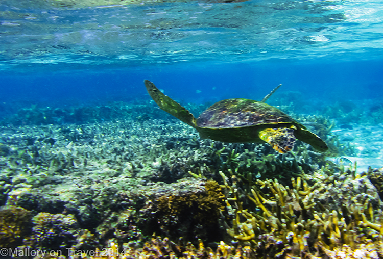 Green turtle, Lady Elliot Island in the Great Barrier Reef, Queensland, Australia on Mallory on Travel adventure, adventure travel, photography Iain Mallory-300-43 green_turtle
