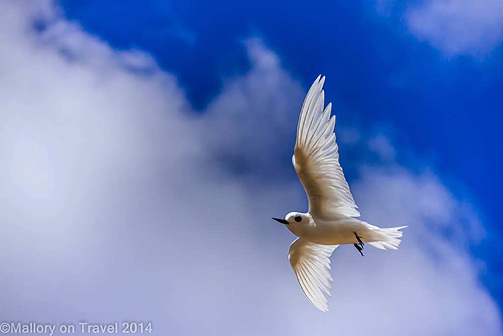 Fairy tern in flight on the South Atlantic island of St Helena on Mallory on Travel adventure, adventure travel, photography Iain Mallory-300-46 fairy_tern