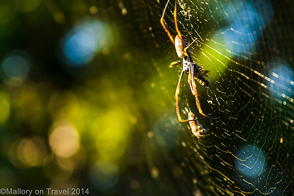 Spider on it's web on Keswick Island in the Whitsundays, near Mackay. Queensland in Australia on Mallory on Travel adventure, adventure travel, photography Iain Mallory-300-213 spider_web