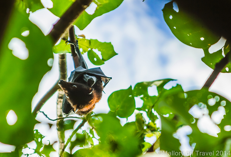 Fruit bat on Keswick Island in the Whitsundays, near Mackay. Queensland in Australia on Mallory on Travel adventure, adventure travel, photography Iain Mallory-300-218 fruit_bat