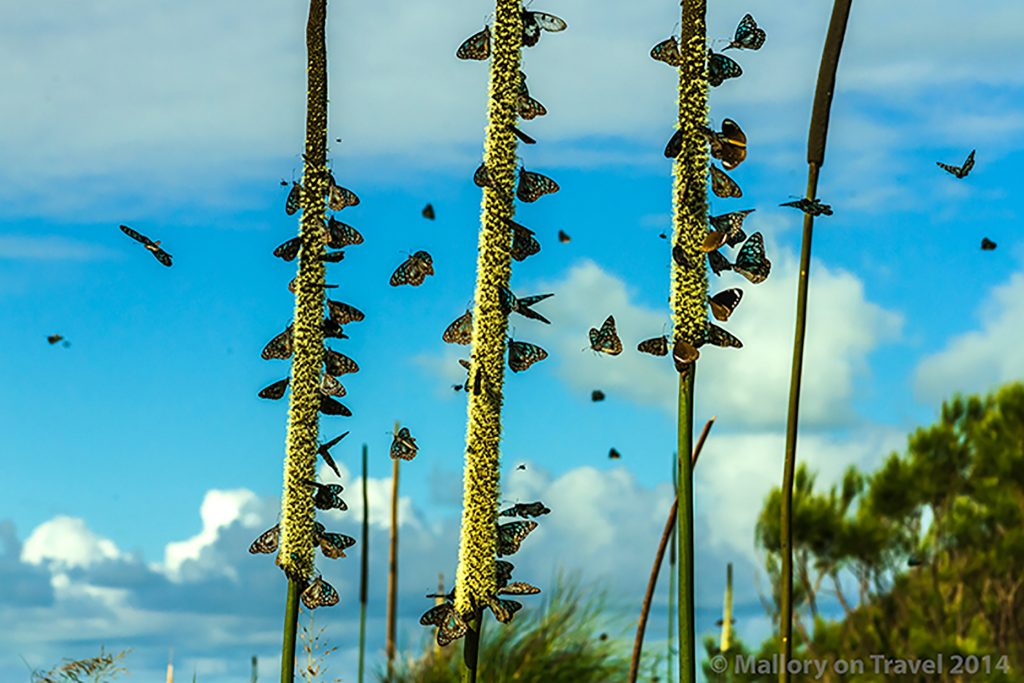 Butterflies on Keswick Island in the Whitsundays, near Mackay. Queensland in Australia on Mallory on Travel adventure, adventure travel, photography Iain Mallory-300-222 butterflies