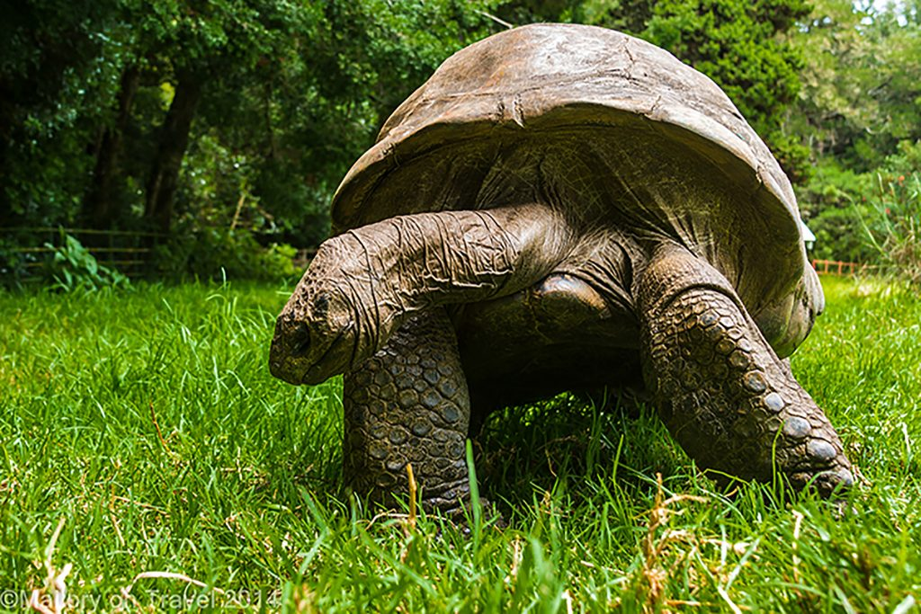 Jonathon the giant tortoise, famous resident at Plantation House on the South Atlantic island of St Helena on Mallory on Travel adventure, adventure travel, photography Iain Mallory-300-31 jonathan_tortoise