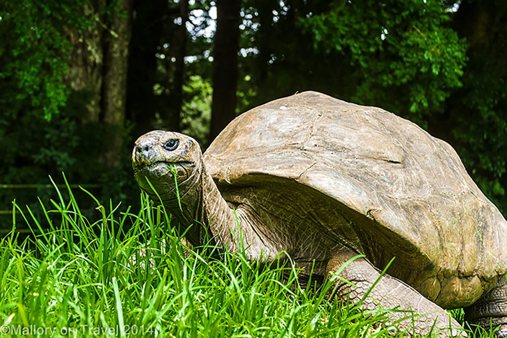 Jonathon the giant tortoise, famous resident at Plantation House on the South Atlantic island of St Helena on Mallory on Travel adventure, adventure travel, photography Iain Mallory-300-43 jonathan_tortoise