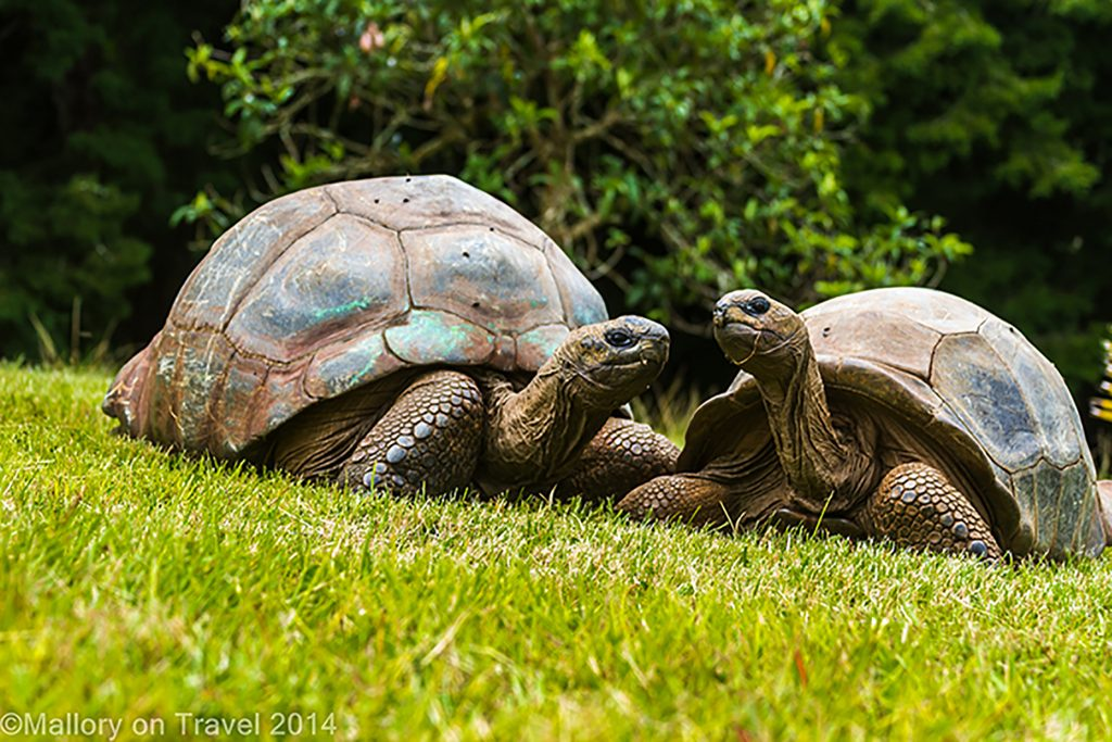 Giant tortoises at Plantation House on the South Atlantic island of St Helena on Mallory on Travel adventure, adventure travel, photography Iain Mallory-300-48_2 giant tortoises