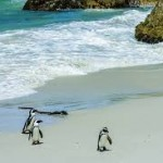Postcards from Cape Town's African Penguins