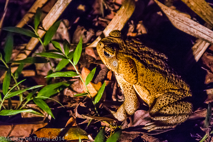 Cane toad in Broken River Mountain Resort in Eungella National Park, Queensland, Australia on Mallory on Travel adventure, adventure travel, photography Iain Mallory-238 cane_toad