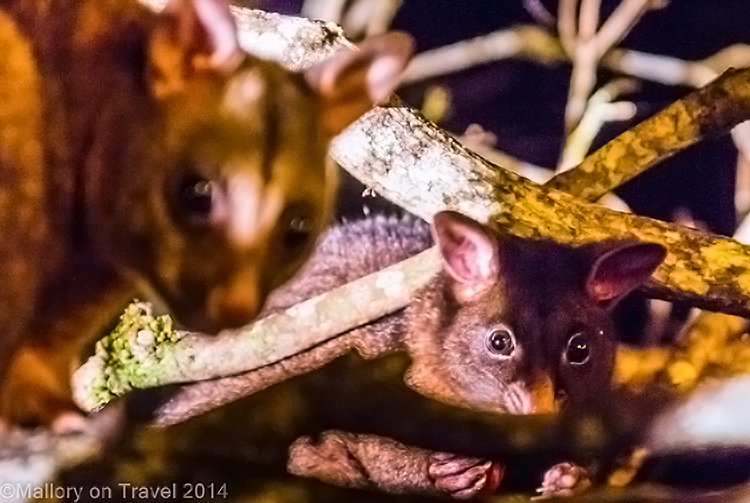 Possums in Broken River Mountain Resort in Eungella National Park, Queensland, Australia on Mallory on Travel adventure, adventure travel, photography Iain Mallory-242 possums_eungella
