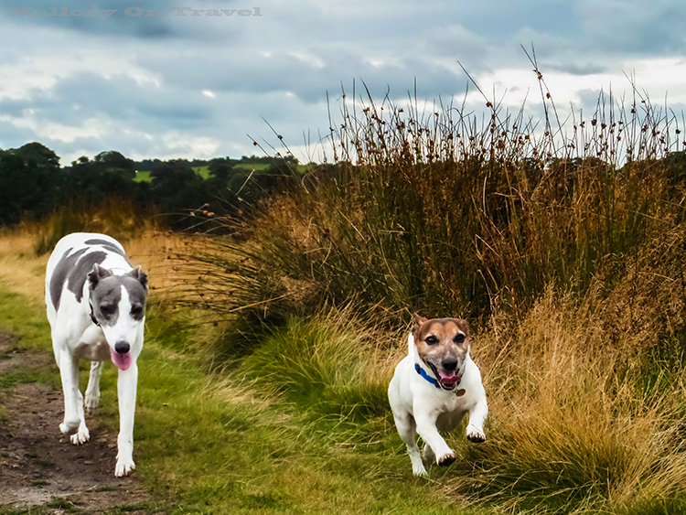 Dogs playing in Lyme Park, Disley in Cheshire on Mallory on Travel adventure, adventure travel, photography Iain_Mallory_Lyme1401797 lyme_park.jpg