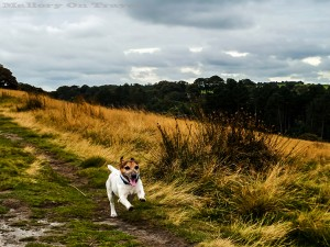 A jack russell in Lyme Park, Disley in Cheshire on Mallory on Travel adventure, adventure travel, photography