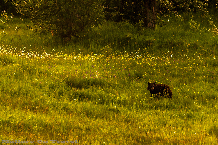 Black bear seen from a Via Rail train in British Columbia, Canada on Mallory on Travel adventure, adventure travel, photography Iain Mallory-216 black_bear