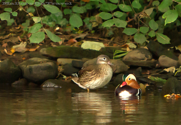Mandarin ducks on the River Goyt in Brabyn Park, Marple in Cheshire, England on Mallory on Travel adventure, adventure travel, photography Iain_Mallory_Goyt1403044 mandarin_ducks