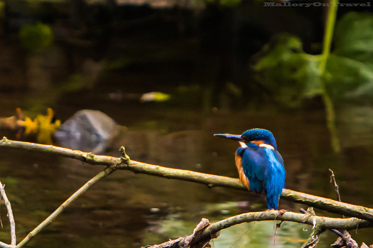 Kingfisher on the River Goyt, in Brabyn Park  near Marple, Cheshire in England  on Mallory on Travel adventure, adventure travel, photography Iain_Mallory_Goyt1403045-2 kingfisher