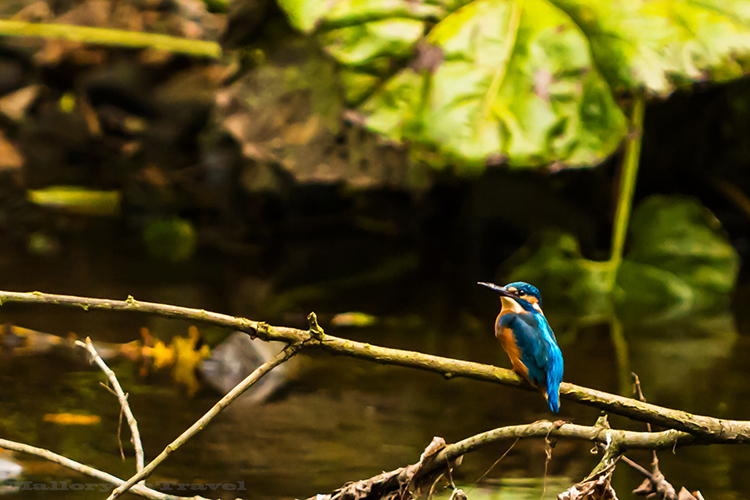 Kingfisher on the River Goyt, in Brabyn Park near Marple, Cheshire in England on Mallory on Travel adventure, adventure travel, photography Iain_Mallory_Goyt1403047 kingfisher