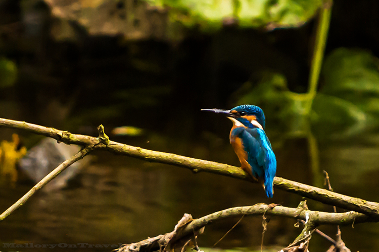 Kingfisher on the River Goyt, in Brabyn Park near Marple, Cheshire in England on Mallory on Travel adventure, adventure travel, photography Iain_Mallory_Goyt1403051 kingfisher