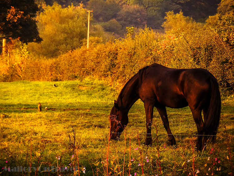 A horse at sunset in Brabyns Park, Marple in Cheshire, England  on Mallory on Travel adventure, adventure travel, photography Iain_Mallory_Goyt1403115.jpg sunset_horse