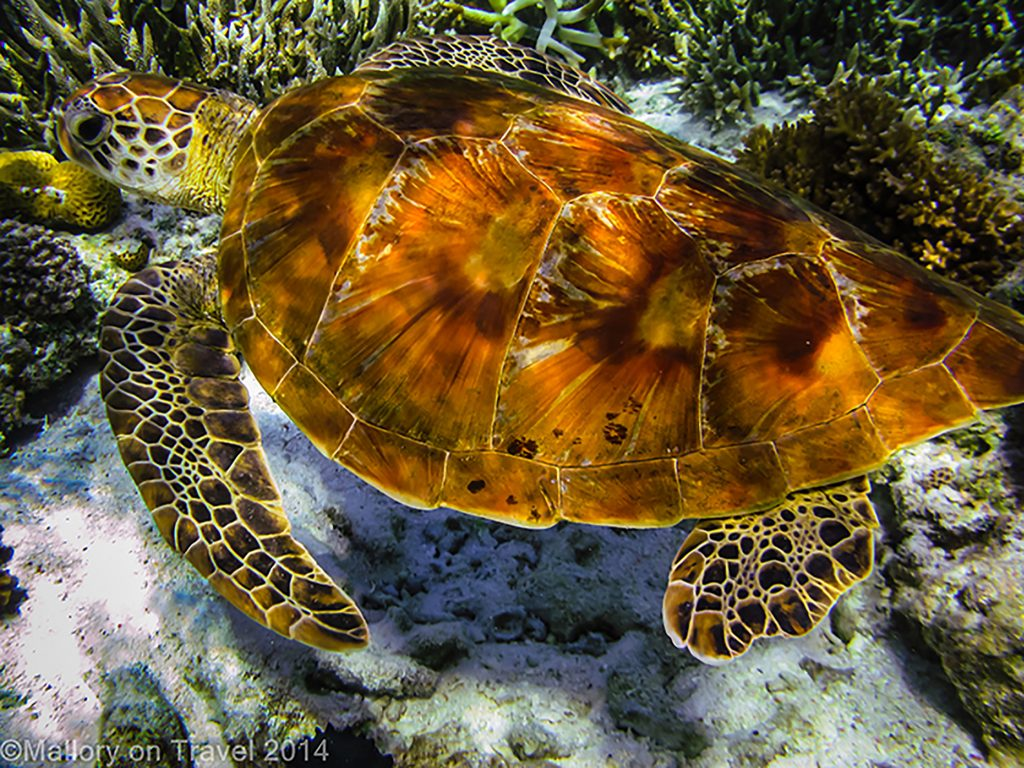 Costa Rica encounter; A green turtle on the Great Barrier Reef, off Lady Elliot Island in Queensland, Australia green_turtle, turtles have a smooth, high-domed carapace or shell. They can be olive green in colour with occasional reddish-brown or black highlights. Hatchlings have a black shell with white fringing, flippers and on the bottom of shell on Mallory on Travel adventure travel, photography, travel Iain Mallory-300-30