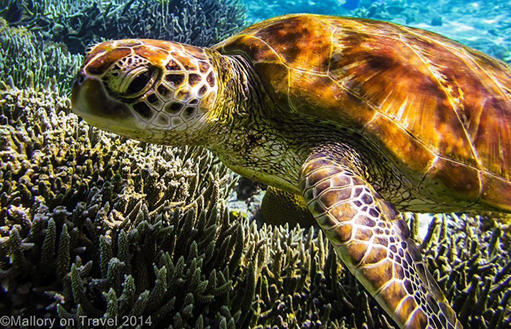 A green turtle on the Great Barrier Reef, off Lady Elliot Island in Queensland, Australia Green turtles also next on the beaches of Tortuguera, Costa Rica from June, until as late as October, during this time the beaches are patrolled, and protected on Mallory on Travel adventure, adventure travel, photography Iain Mallory-300-33 green_turtle