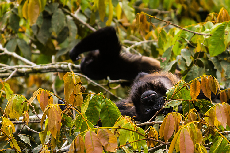 A howler monkey in the cloudforest of Monteverde in Costa Rica, in Central America on Mallory on Travel adventure, adventure travel, photography Iain_Mallory_9166 howler_monkey A large type of New World Monkey. Named because they are louder than any other types of Monkey. They often call at sunrise, and sunset. They also howl to warn of dangers. They are believed to be the loudest of all land animals. They have a long tail, growing to the same size as their body. They have a tail that they can use to pick up items with. They can see in all colors just like humans do. A genetic difference accounts for this ability. They are large in size and move very slowly. They don't have the swiftness and agility of most monkeys