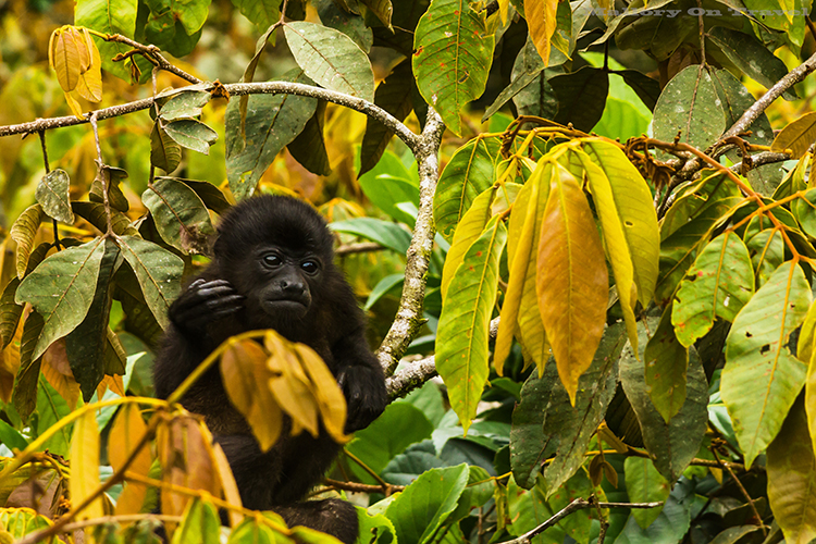 A thoughtful howler monkey baby in the cloudforest of Monteverde in Costa Rica, in Central America on Mallory on Travel adventure, adventure travel, photography Iain_Mallory_9185 howler_monkey A large type of Monkey from the americas. Known for their loud call. They often sound the alarm when danger is around. Their long tail, grows as long as their body. They can use it to pick up items with. They can see in all colors just like us. They are large and move very slowly.