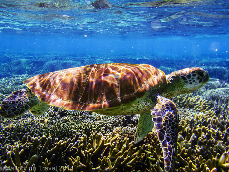 Travel experiences; A green turtle on the Great Barrier Reef off Lady Elliot Island in Queensland, Australia  on Mallory on Travel adventure, adventure travel, photography Iain Mallory-300-35 green_turtle