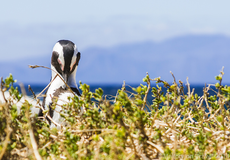 African penguin at Simon's Town near Cape Town, South Africa on Mallory on Travel adventure, adventure travel, photography Iain Mallory-300-37 african_penguin