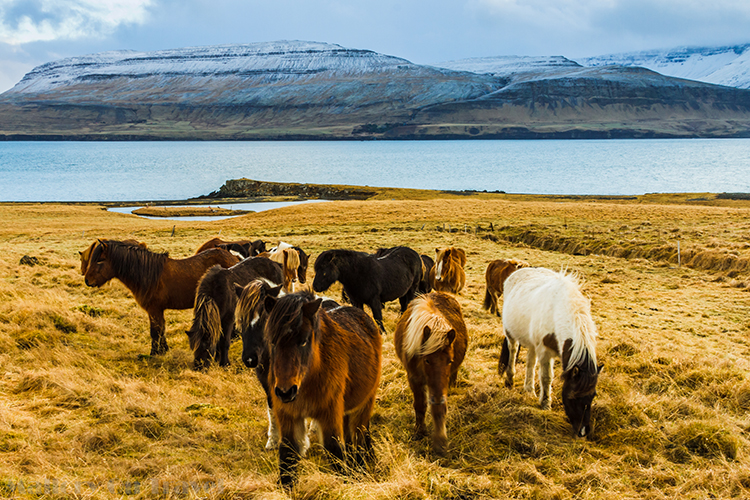 Icelandic horse on the road from Reykjavik to Borganes, on Iceland, the Land of Fire, and Ice on Mallory on Travel adventure, adventure travel, photography Iain Mallory-300-4 icelandic_horses