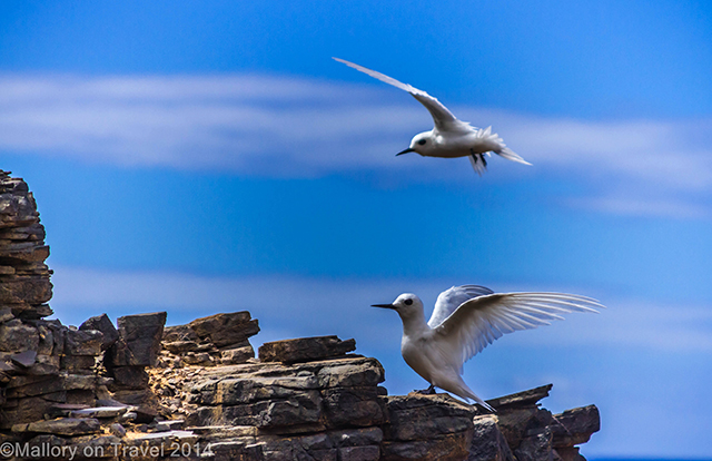 Fairy terns near Lot's Wife Ponds on St Helena in the South Atlantic on Mallory on Travel adventure, adventure travel, photography