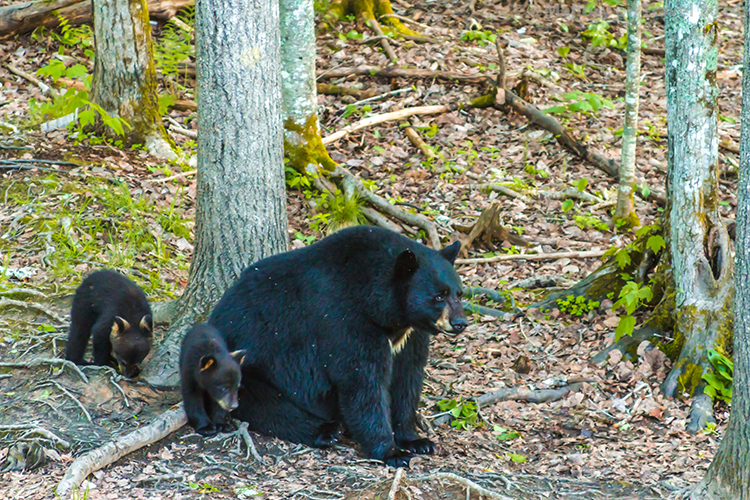 Travel experiences; Black bear and cubs in the New Brunswick province of Canada  on Mallory on Travel adventure, adventure travel, photography Iain Mallory-300-52 black_bears