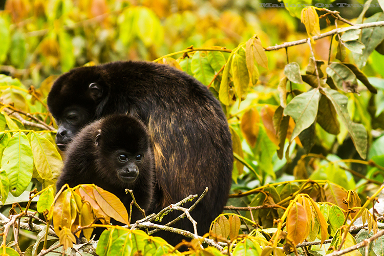 Travel experiences; Howler Monkeys in the canopy of the Monteverde cloudforest Costa Rica  on Mallory on Travel adventure, adventure travel, photography Iain_Mallory_9201 howler_monkeys