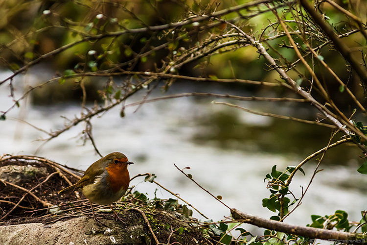 Robin redbreast in the Borrowdale Valley, Cumbria near Derwentwater in the English Lake District  on Mallory on Travel adventure, adventure travel, photography Iain_Mallory_Lakes1408143
