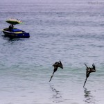 Brown Pelicans; Dive-bombers of the Sea – Photo Essay