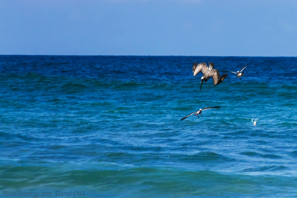 Brown pelicans diving and fishing off the beach of San Pancho, Riviera Nayarit, Puerto Vallarta in Mexico on Mallory on Travel adventure travel, photography, travel Iain_Mallory_Mex16787