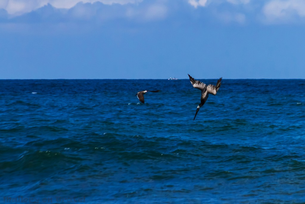 Brown pelican diving and fishing off the beach of San Pancho, Riviera Nayarit, Puerto Vallarta in Mexico on Mallory on Travel adventure travel, photography, travel Iain_Mallory_Mex16791
