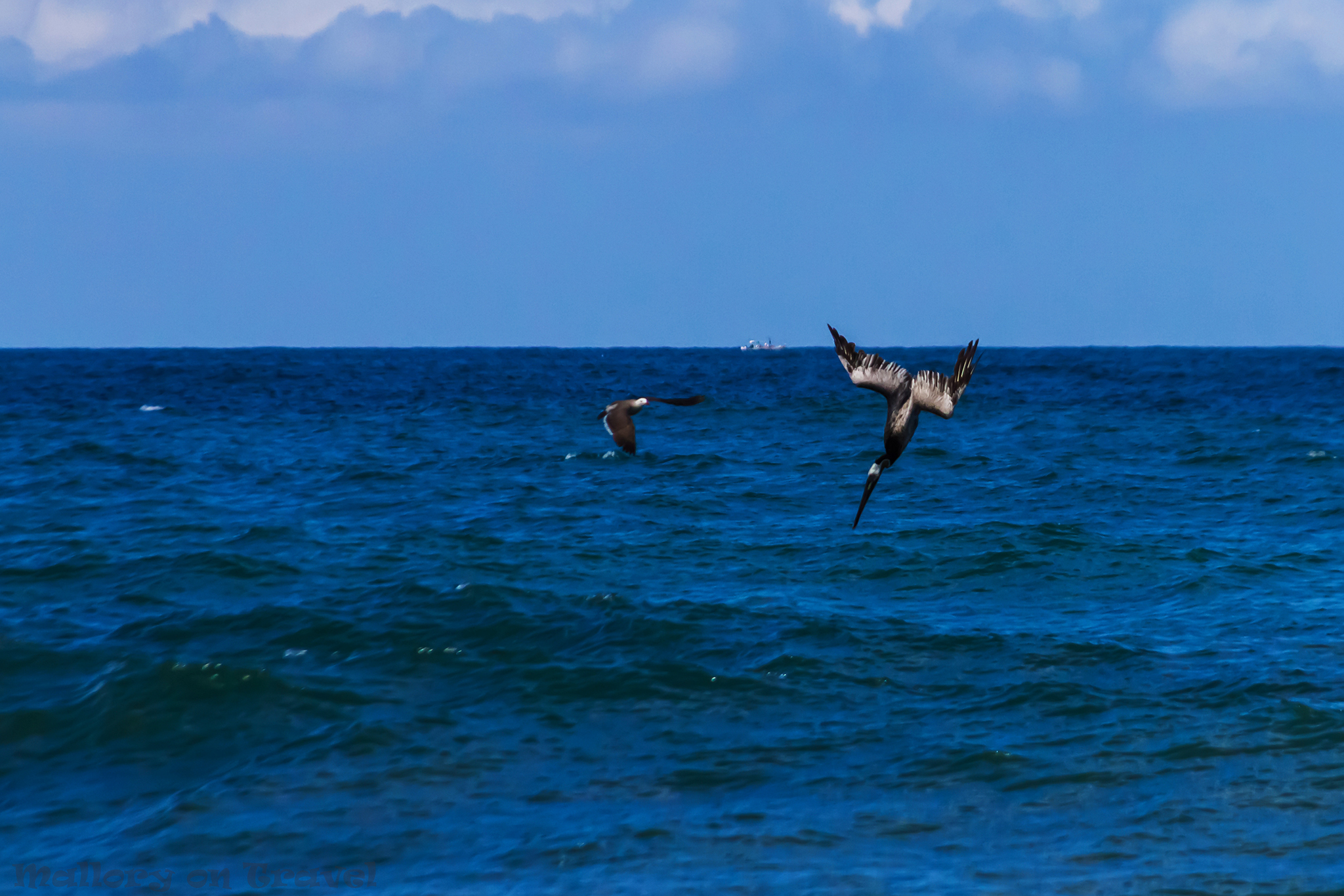 brown pelicans dive bombers of the sea photo essay mallory on brown pelican diving and fishing off the beach of san pancho riviera nayarit puerto