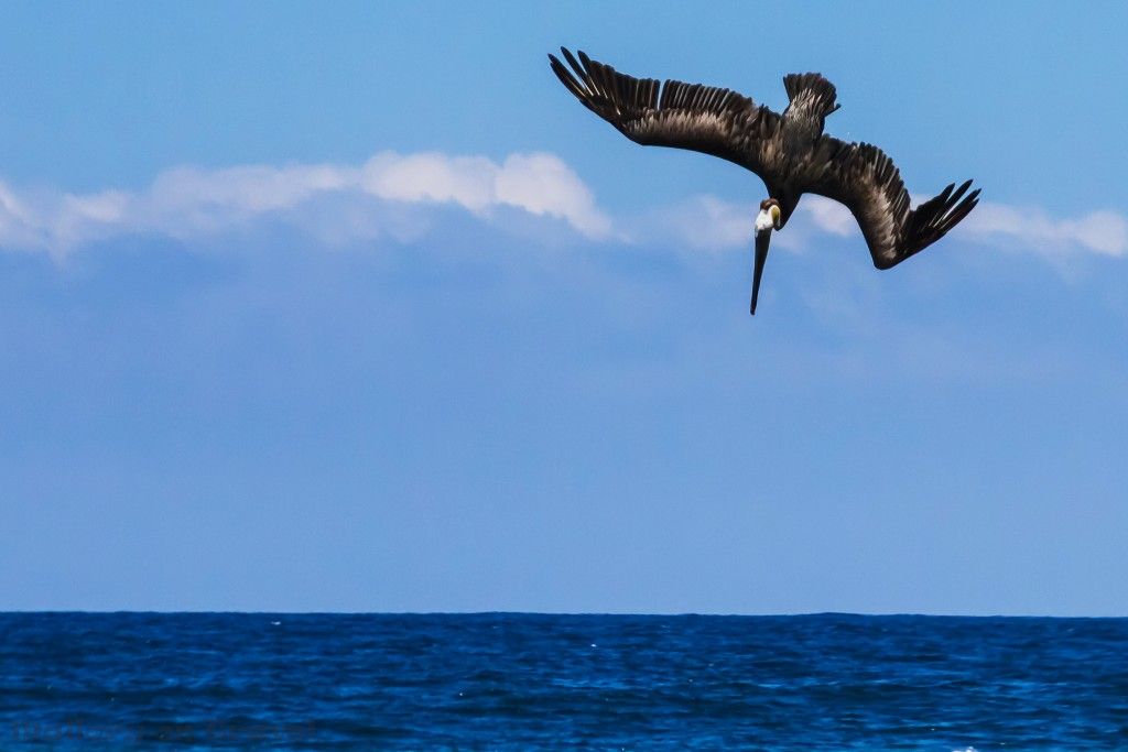 Brown pelican diving and fishing off the beach of San Pancho, Riviera Nayarit, Puerto Vallarta in Mexico on Mallory on Travel adventure travel, photography, travel Iain_Mallory_Mex16809
