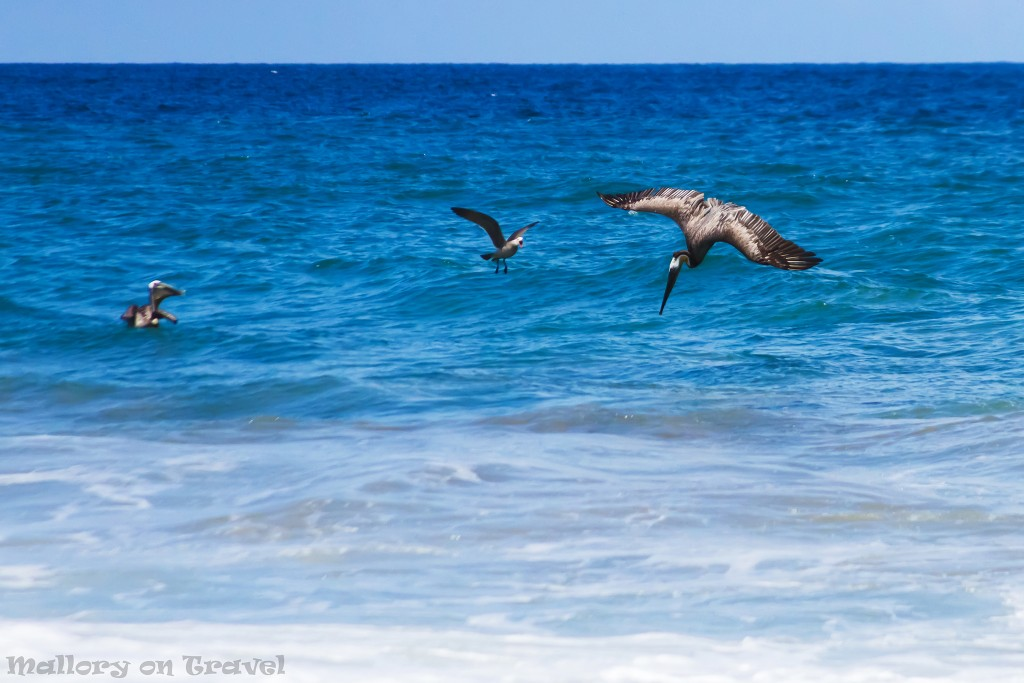 Brown pelican diving and fishing off the beach of San Pancho, Riviera Nayarit, Puerto Vallarta in Mexico on Mallory on Travel adventure travel, photography, travel Iain_Mallory_Mex16829