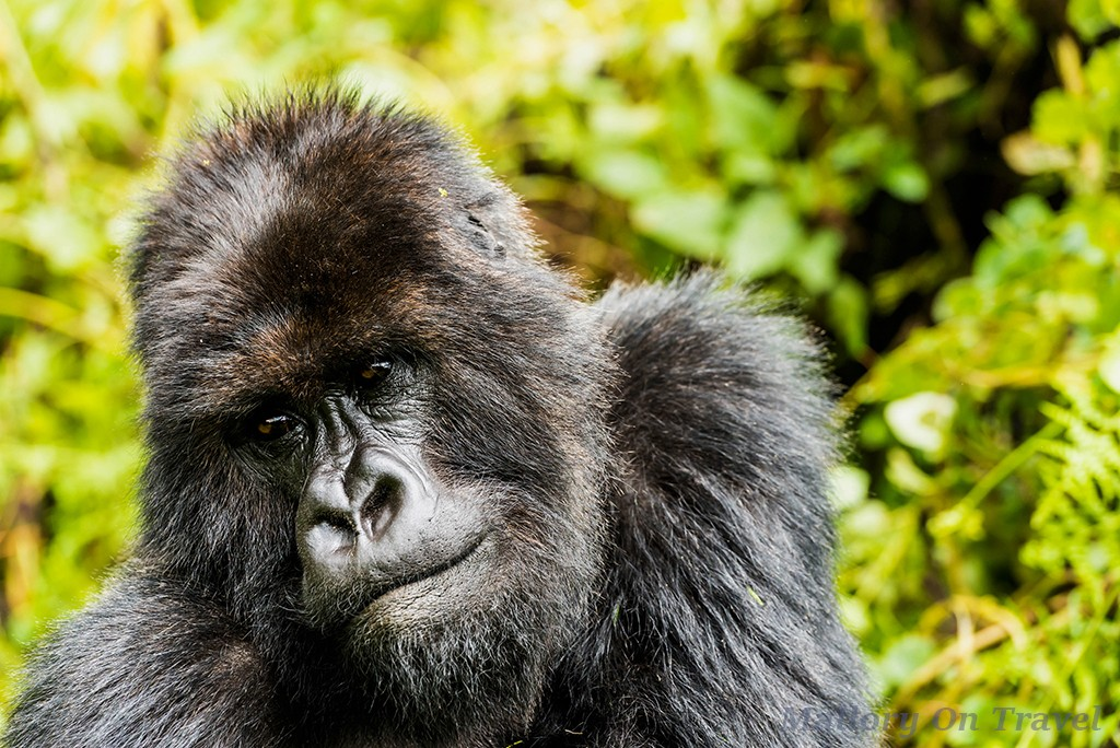 World Wildlife Day; Second silverback gorilla of the Titus troop in Volcano National Park, Rwanda in east Africa on Mallory on Travel adventure travel, photography, travel Iain_Mallory_Rwanda-9496a