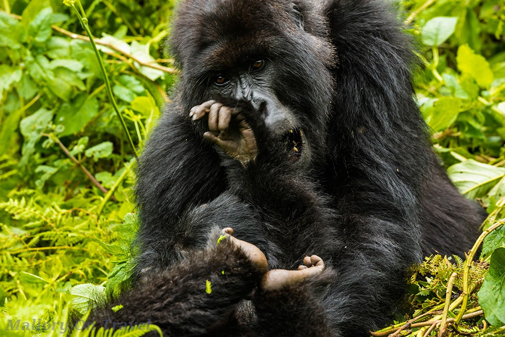 Juvenile gorillas of the Titus troop playfighting in Volcano National Park in Rwanda, east Africa on Mallory on Travel adventure travel, photography, travel Iain_Mallory_Rwanda-9625a