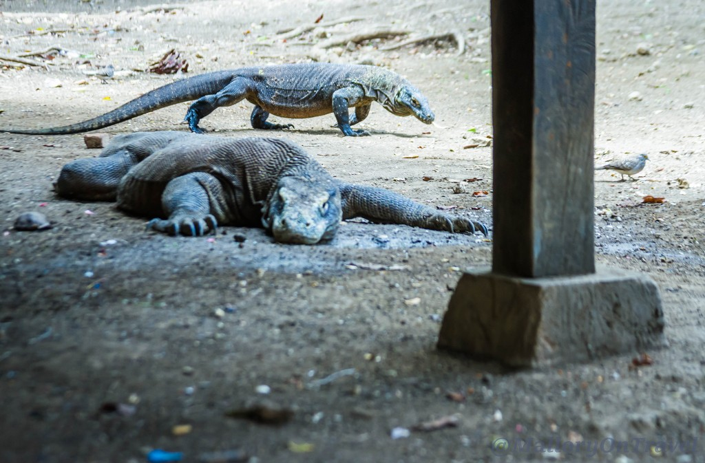 Komodo dragons the largest species of monitor lizard at Loh Buaya on Rinca island in the Komodo archipelago of the Republic of Indonesia Iain_Mallory_Indo14865