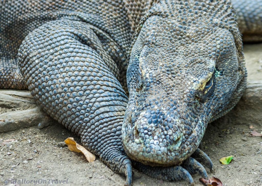 Komodo dragons the largest species of monitor lizard at Loh Buaya on Rinca island in the Komodo archipelago of the Republic of Indonesia Iain_Mallory_Indo15019