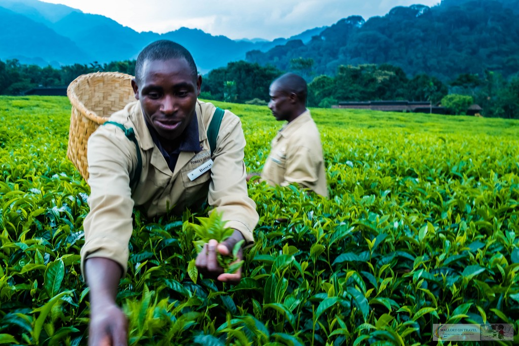 Tea pickers at Nyungwe Forest Lodge in Rwanda, east Africa on Mallory on Travel adventure travel, photography, travel Iain_Mallory_Rwanda-2538