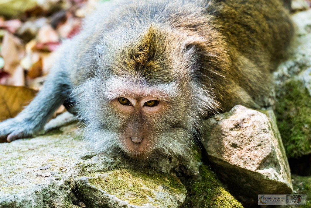 Crab eating macaque at the Sacred Monkey Forest Sanctuary in Ubud, Bali in the Republic of Indonesia on Mallory on Travel adventure travel, photography, travel Iain Mallory_monkey9294
