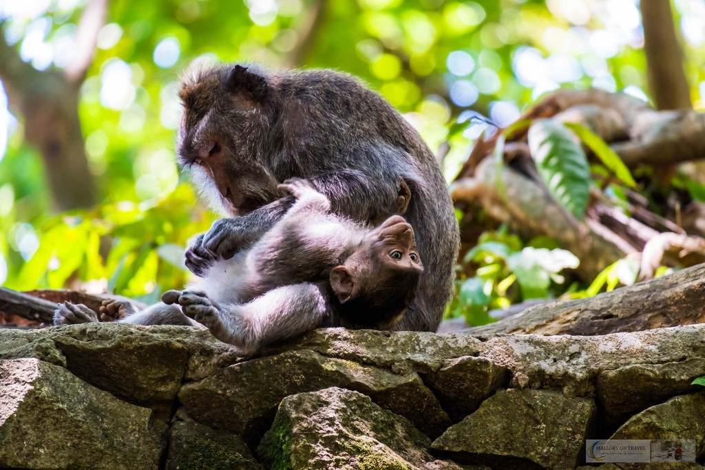 Mother and baby Balinese long-tailed monkeys at the Sacred Monkey Forest Sanctuary in Ubud, Bali in the Republic of Indonesia on Mallory on Travel adventure travel, photography, travel Iain Mallory_monkey9391