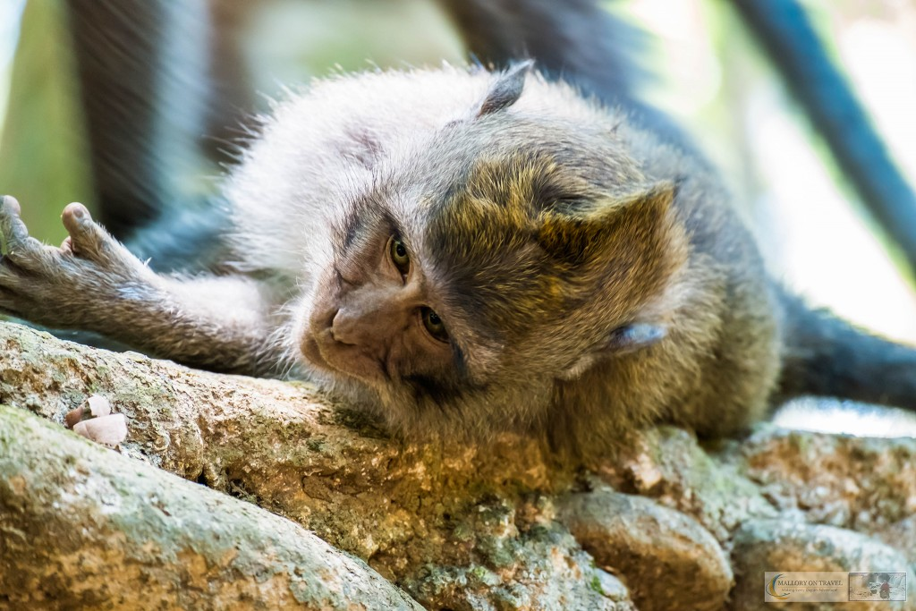 Young Balinese long-tailed monkeys at the Sacred Monkey Forest Sanctuary in Ubud, Bali in the Republic of Indonesia on Mallory on Travel adventure travel, photography, travel Iain Mallory_monkey9403