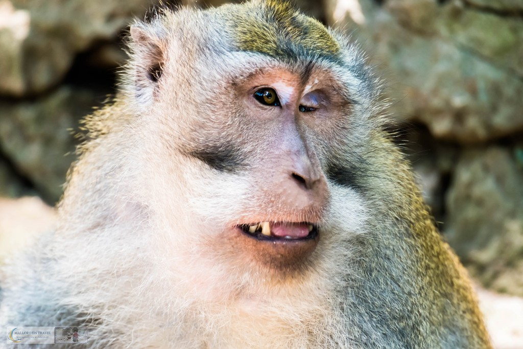 Male crab eating macaque at the Sacred Monkey Forest Sanctuary in Ubud, Bali in the Republic of Indonesia on Mallory on Travel adventure travel, photography, travel Iain Mallory_monkey9412