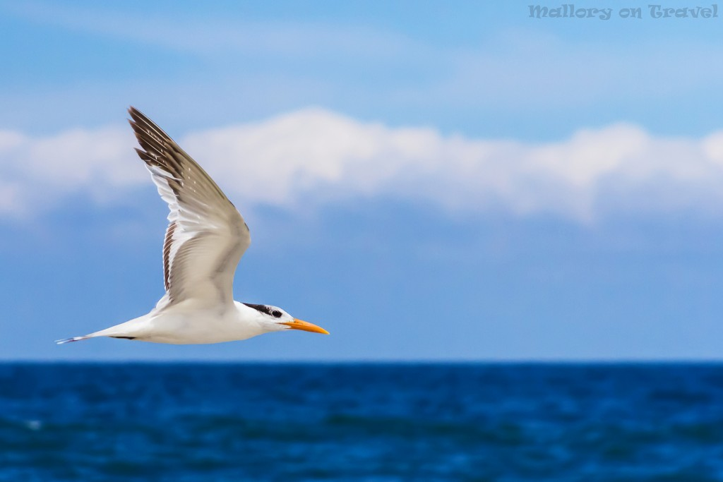 World Wildlife Day; A tern in flight in San Pancho, Riviera Nayarit in Mexico on Mallory on Travel adventure travel, photography, travel Iain_Mallory_worldwildlifeday16734