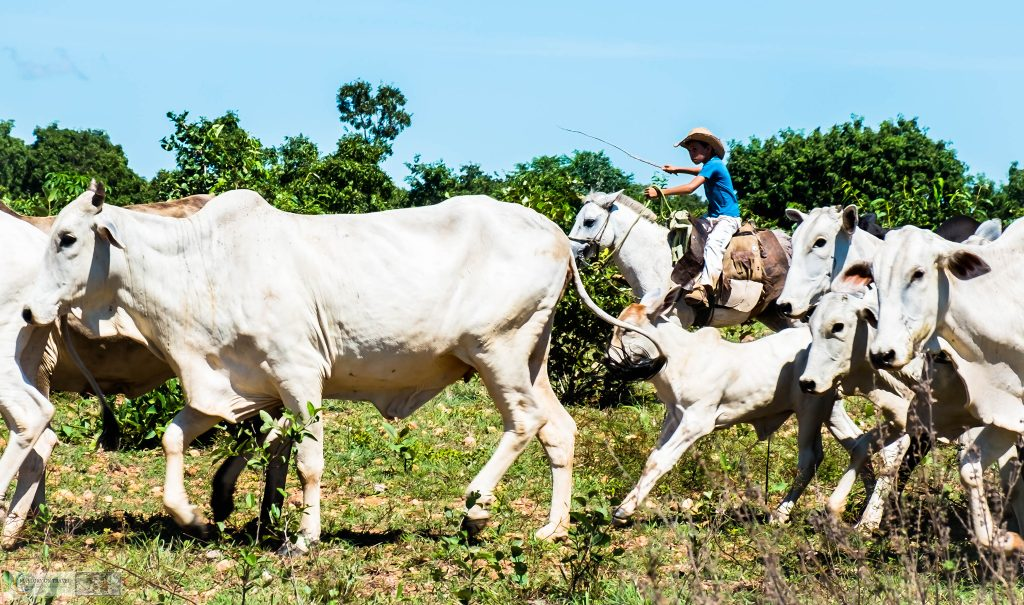 Cowboys rounding up cattle in the wetlands of the Pantanal on the Araras ecolodge in the Mato Grosso region of Brazil on Mallory on Travel adventure travel, photography, travel Iain_Mallory_Patanal-3610