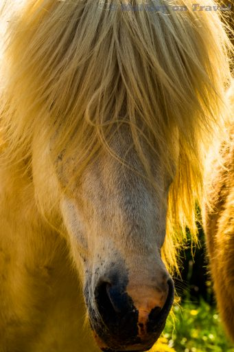 Icelandic horse in Bakkargerdi, Borgarfjordur eystri, East Iceland on Mallory on Travel adventure travel, photography, travel Iain_Mallory_Iceland-5777